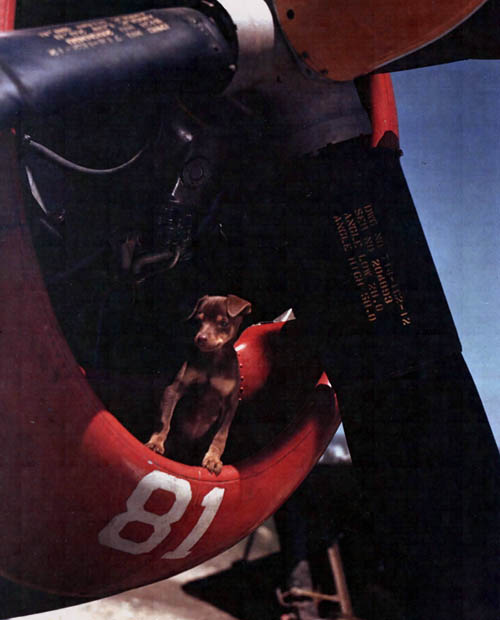 Dog Mascot P-47 Thunderbolt WW2 Color Photo